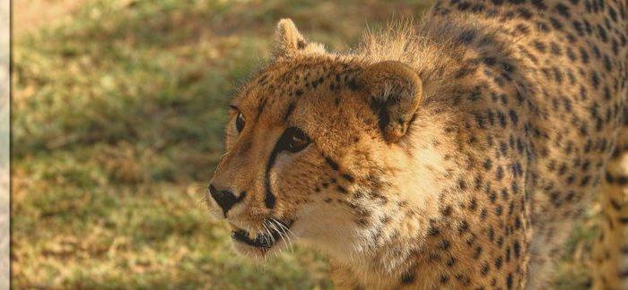 Geparden auf der Cango Wildlife Ranch, Oudshoorn und Wandern am Jubilee Creek bei Knysna