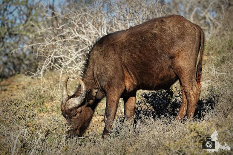 Game Drive in Kuzuko im Addo Elephant Nationalpark - Kaffernbüffel