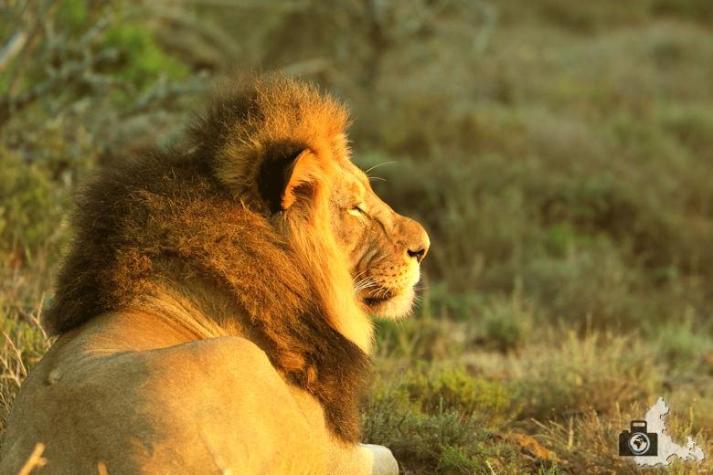 Löwe im Licht der aufgehenden Sonne