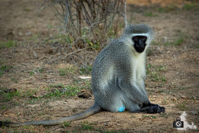 Grünmeerkatze im Addo Elephant Nationalpark in Südafrika