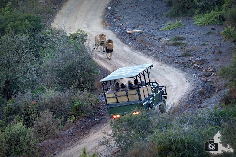 2 Löwen laufen einem safari Jeep entgegen - Kuzuko Lodge im Addo Elephant Nationalpark