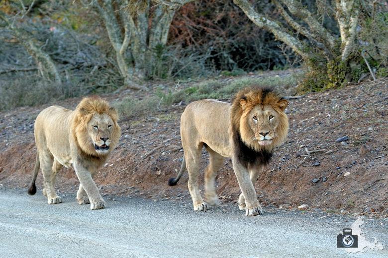 2 männliche Löwen nahe der Kuzuko Lodge im Addo Elephant Nationalpark