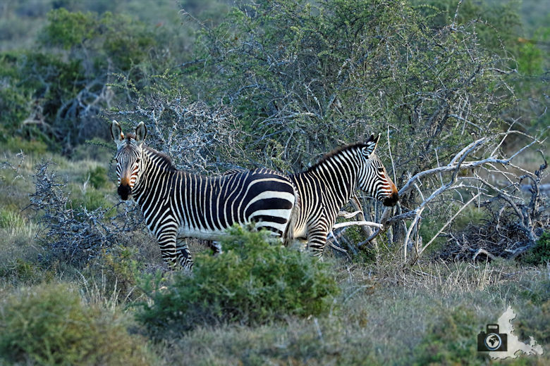 Bergzebras im Addo Elephant National Park