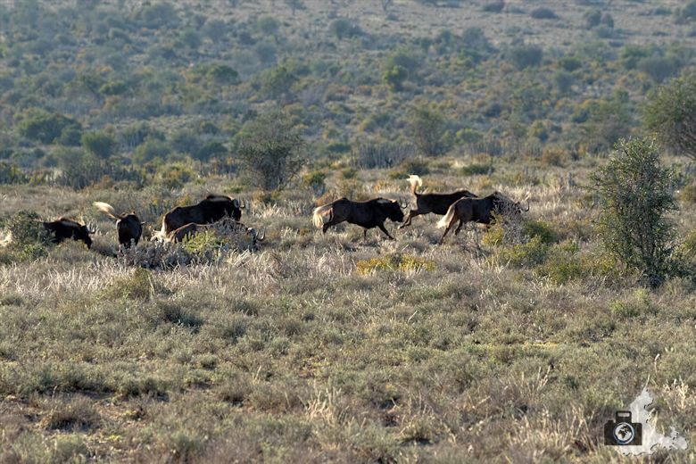 Gnus im Addo Elephant National Park