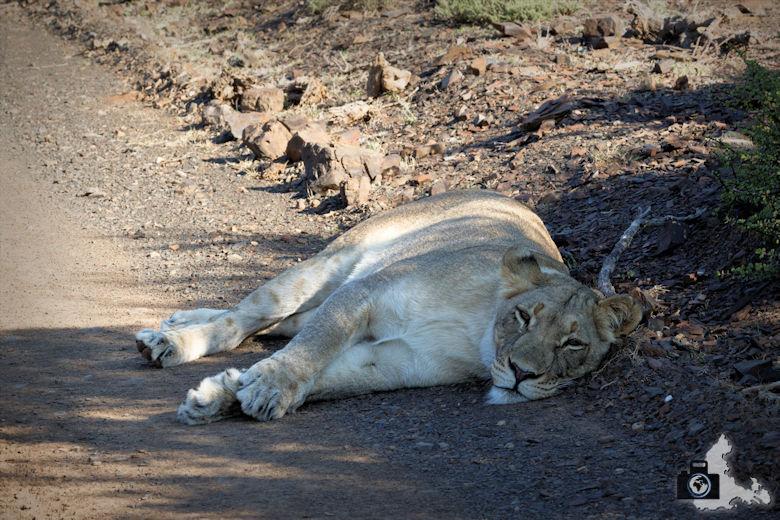 Schlafende Löwin im Addo Elephant National Park