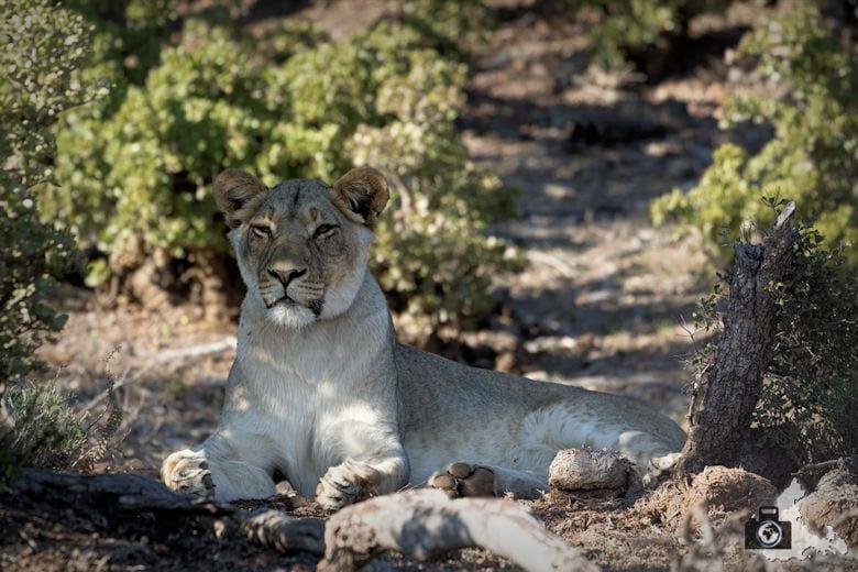 Wachsame Löwin im Addo Elephant National Park