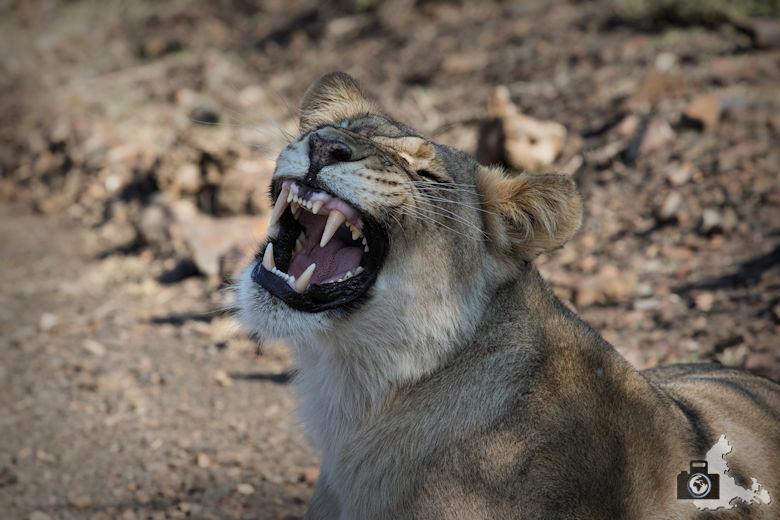 Brüllende Löwin im Addo Elephant National Park
