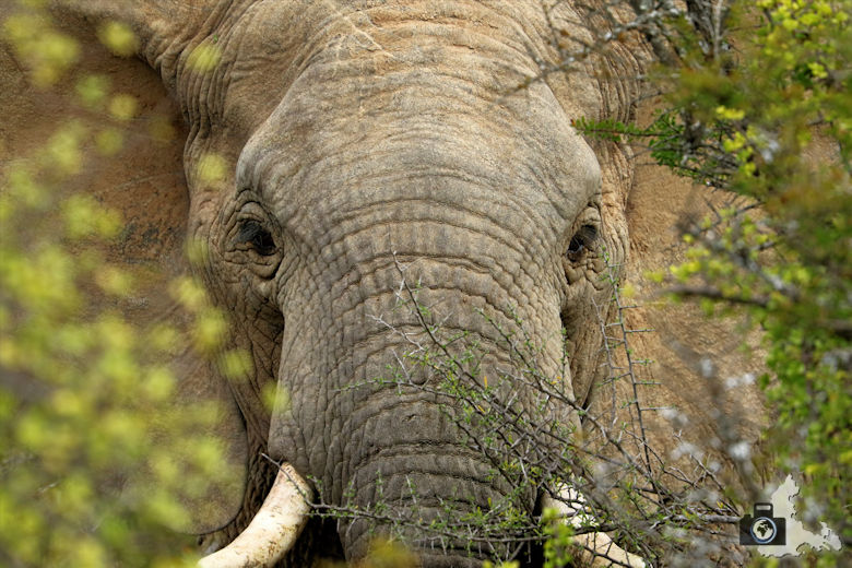 Elefant in Großaufnahme im Addo Elephant National Park