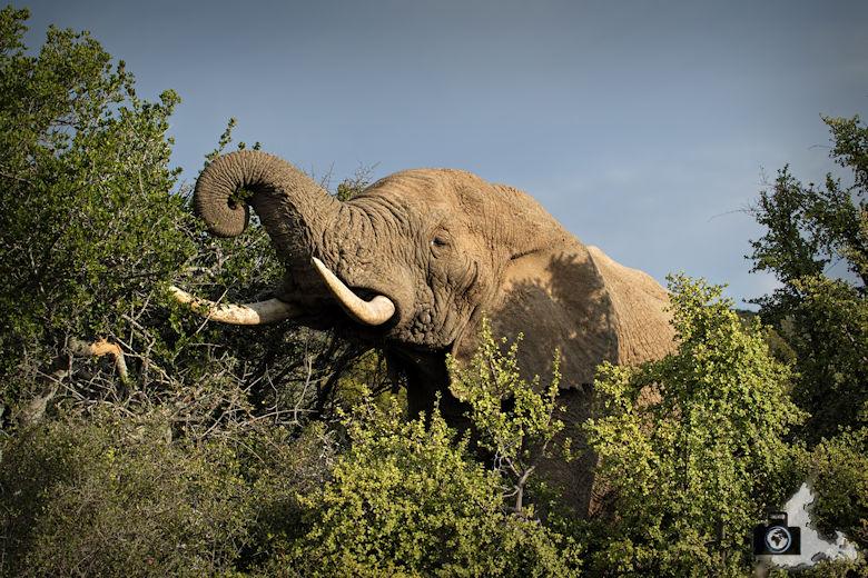 Fressender Elefant im Addo Elephant National Park