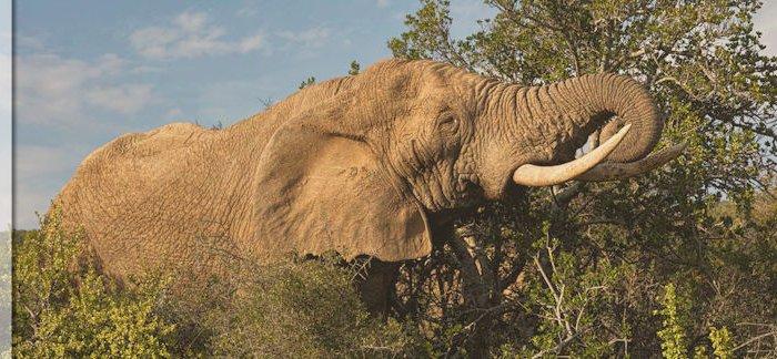 Safari im Addo Elephant National Park in Südafrika