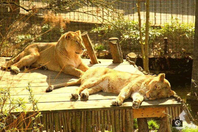 London Zoo - Löwen
