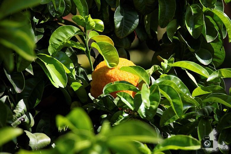 Orangen im Königlichen Botanischen Garten in Madrid