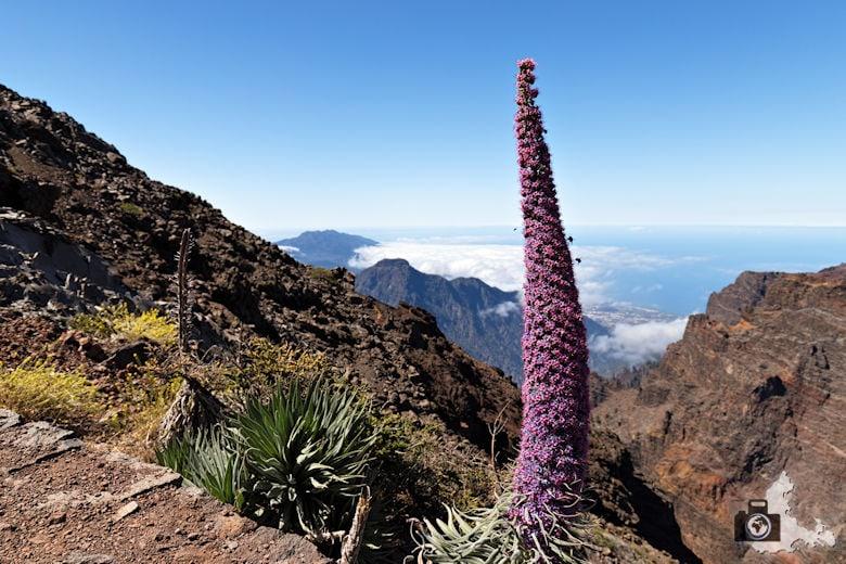 La Palma - Blume am Mirador del Roque de los Muchachos