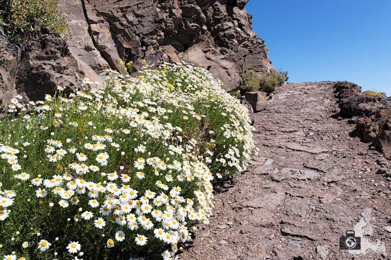 La Palma - Blumen am Mirador del Roque de los Muchachos