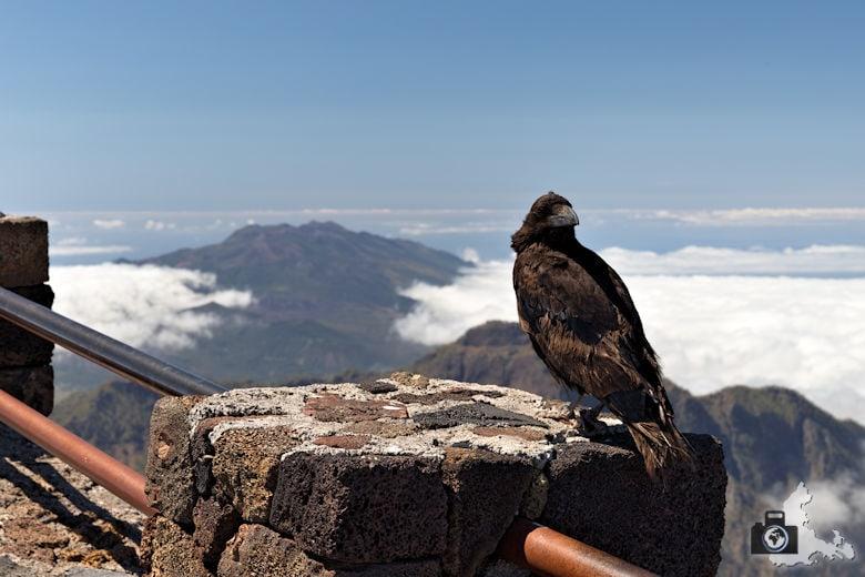 La Palma - Rabe am Mirador del Roque de los Muchachos