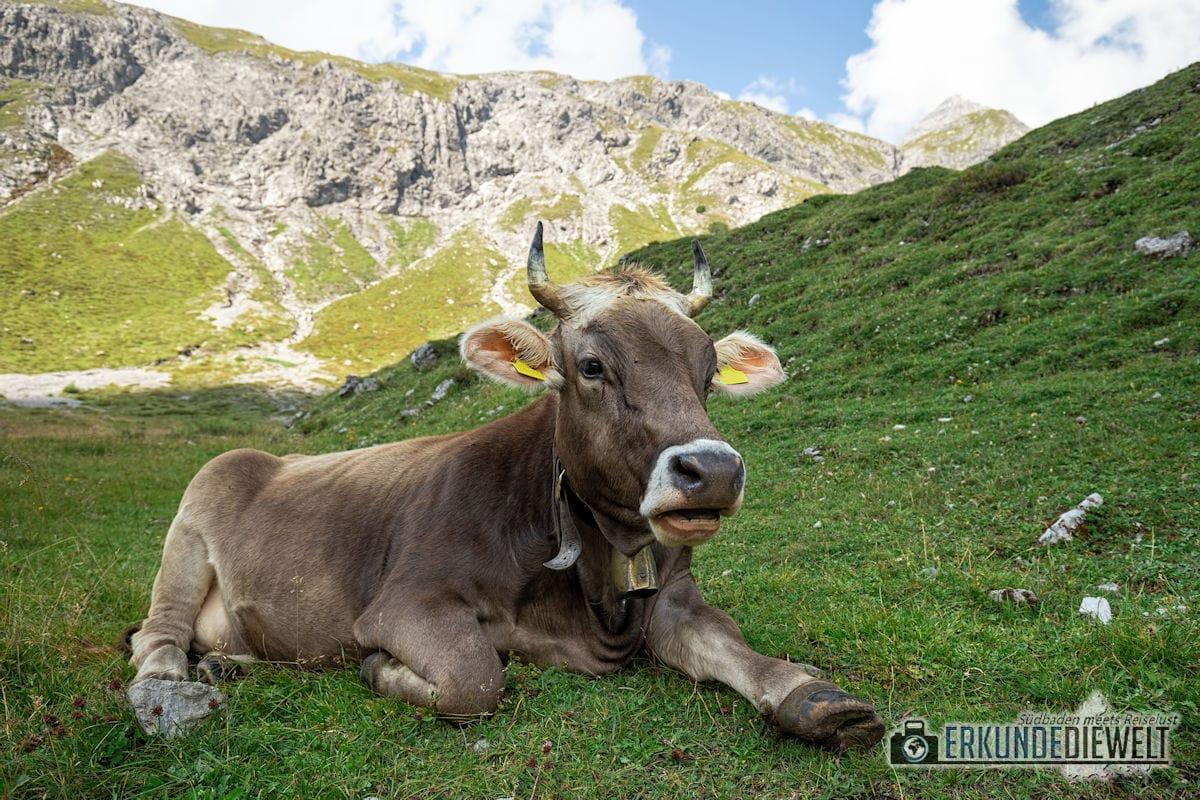 Kuh am Lünersee, Brandnertal, Österreich