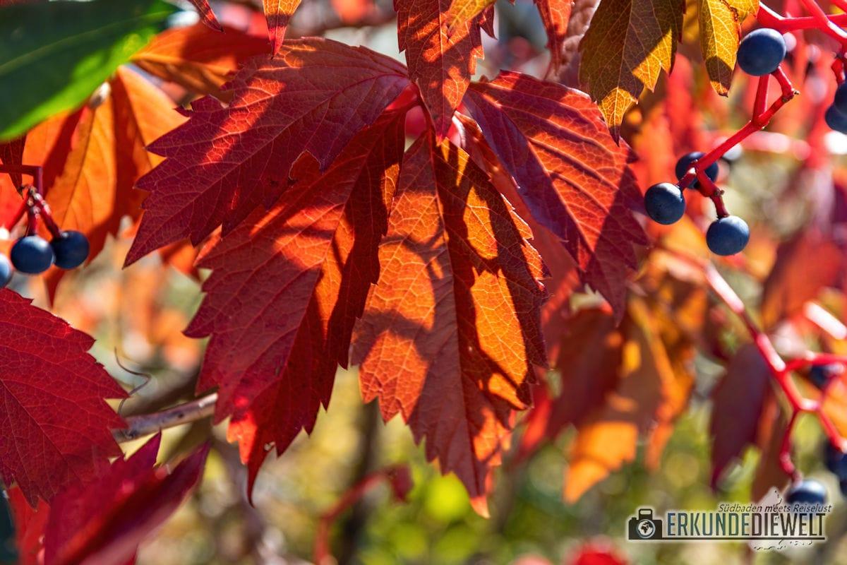 Fotowalk #8 - Licht & Schatten - Herbstblätter