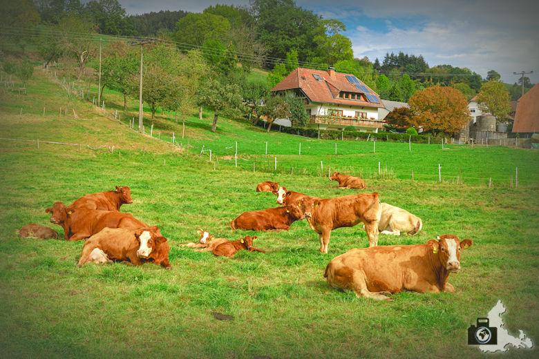 Wanderung Dreisamtal - Kapellenweg Stegen - Kühe