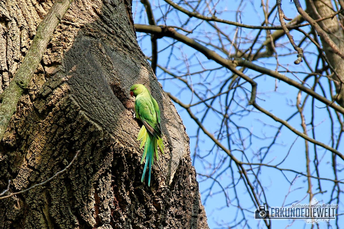 Papagei, Brüssel, Belgien