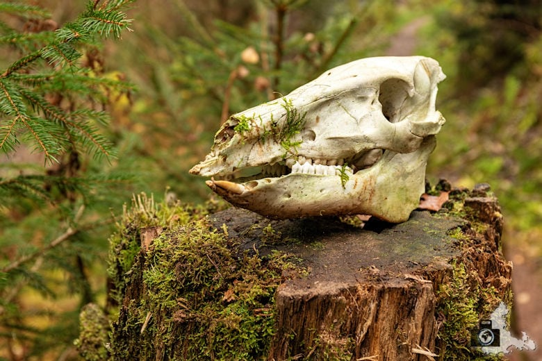 Schwarzwälder Genießerpfad - Rötenbachschlucht - Schädel