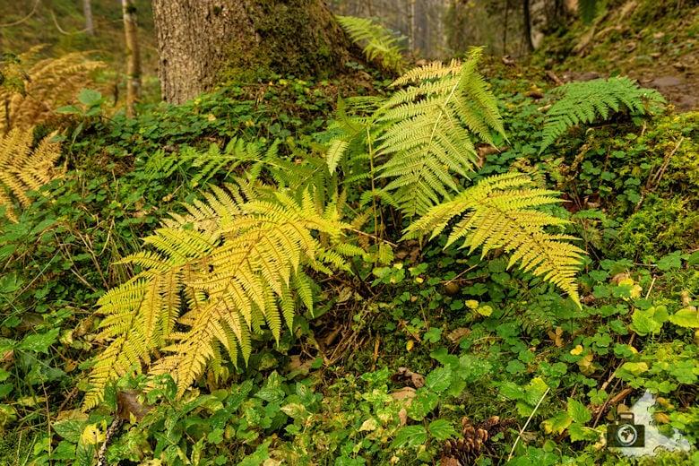 Schwarzwälder Genießerpfad - Rötenbachschlucht - Farn