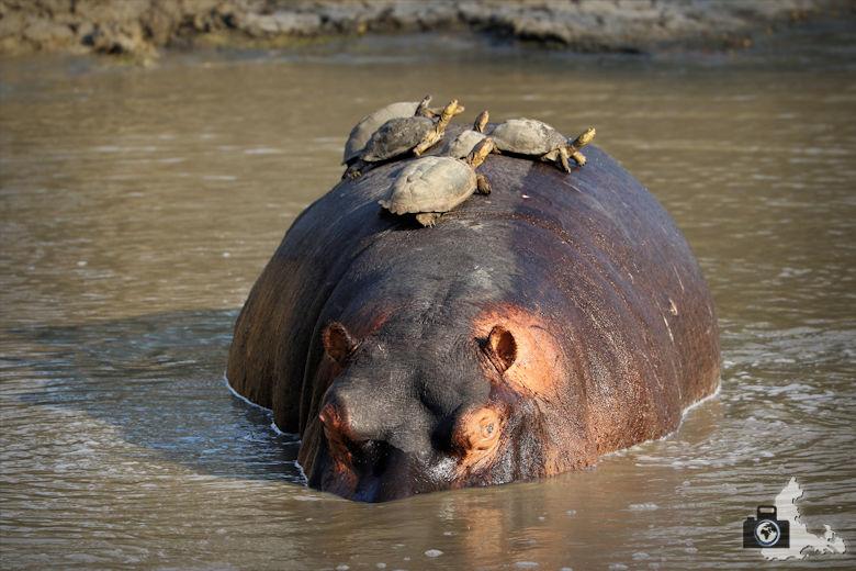 tierfotografie-safari-fotografieren-tipps-flusspferd-schildkroeten