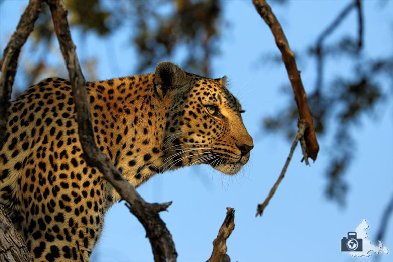 tierfotografie-safari-fotografieren-tipps-leopard