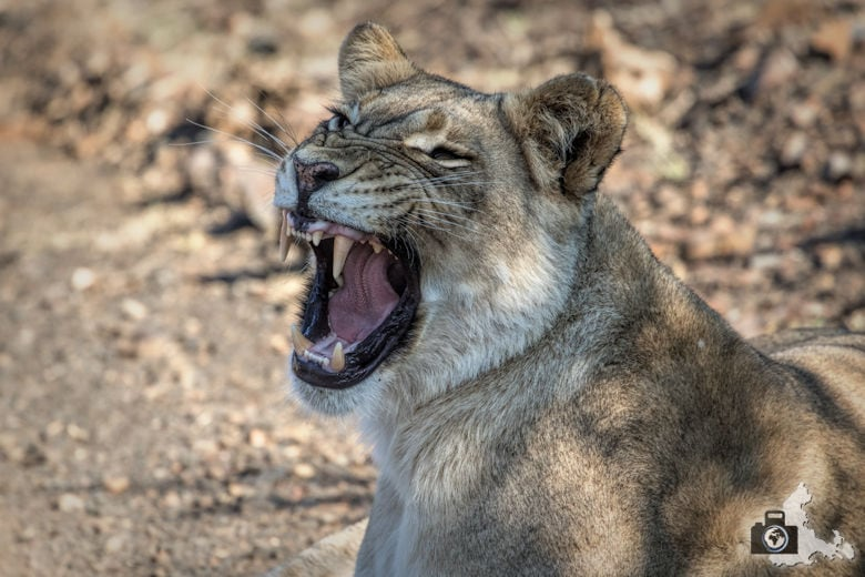 tierfotografie-safari-fotografieren-tipps-loewe