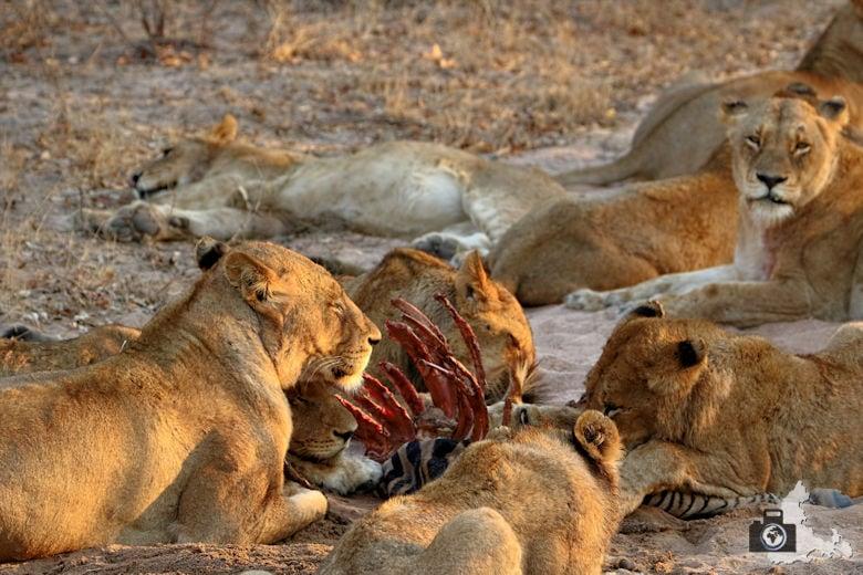 tierfotografie-safari-fotografieren-tipps-loewen-fressen-zebra