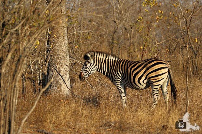 tierfotografie-safari-fotografieren-tipps-zebra