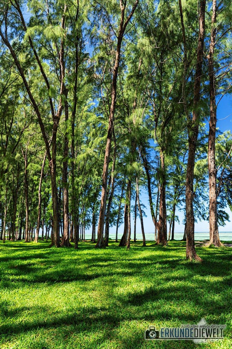Bäume am Strand, Mauritius