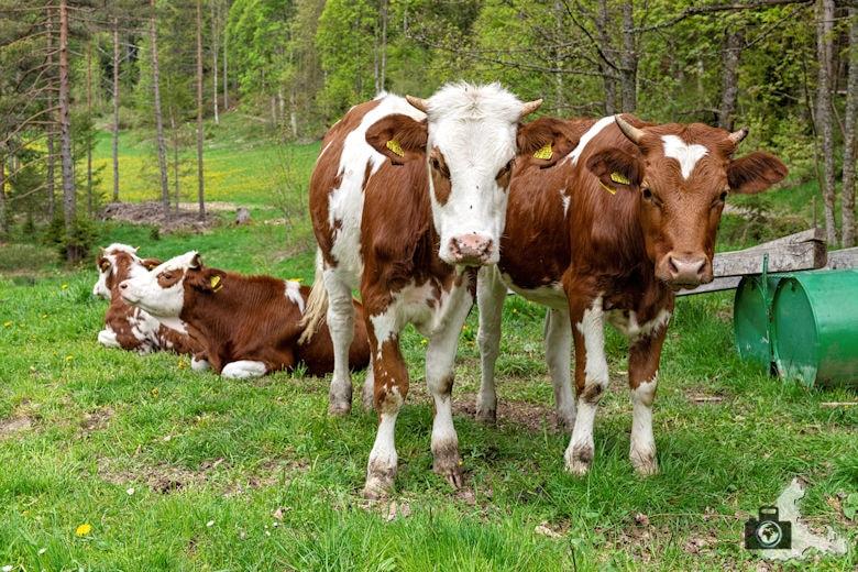 Schwarzwälder Genießerpfad - Säbelthomaweg Hinterzarten - Kühe