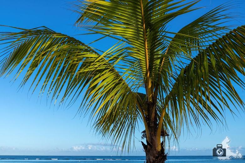 Fotowalk #9 - Am Strand von Mauritius - Palme