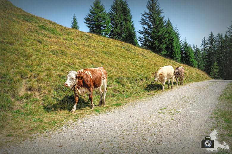 Wanderung am Loischkopf - Kühe am Wegrand