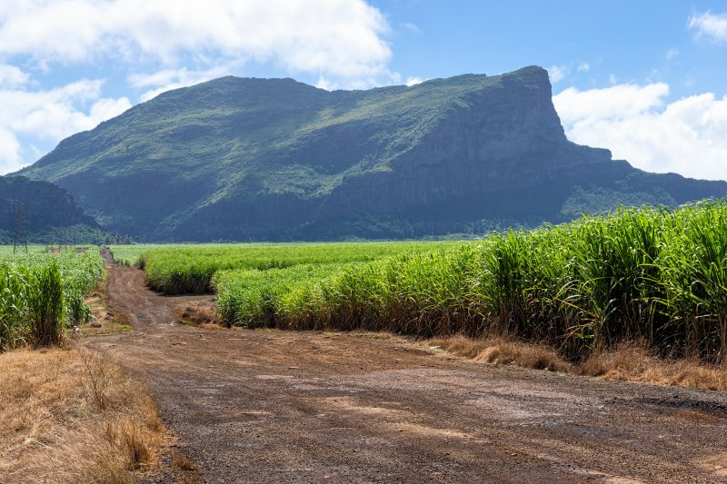 Zuckerrohrplantage auf Mauritius