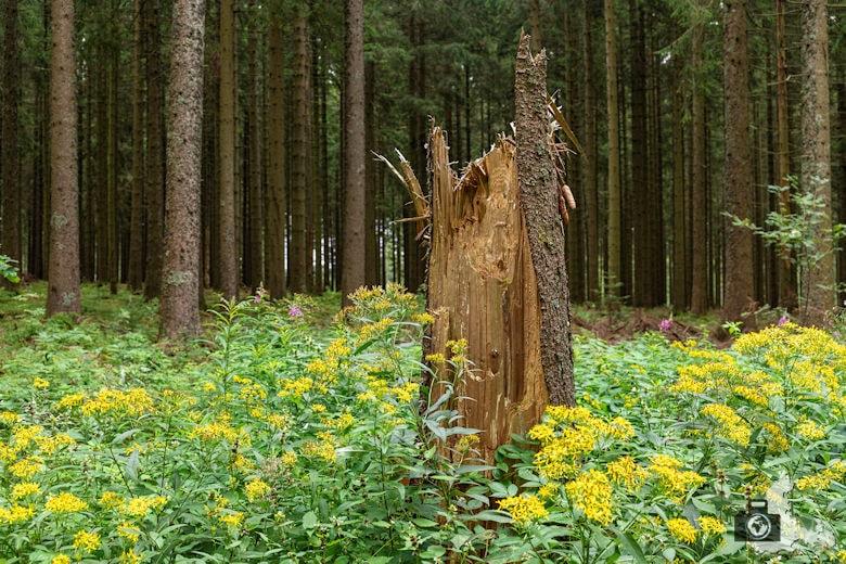 Baumstumpf, Schwarzwälder Genießerpfad Heilklima-Steig Schönwald