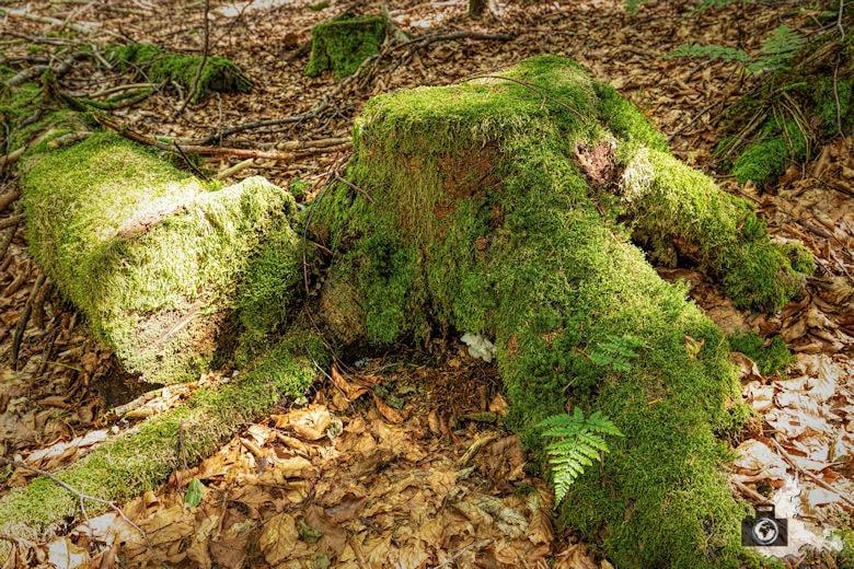 Baumwurzel, Schwarzwälder Genießerpfad Heilklima-Steig Schönwald