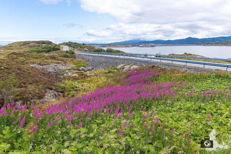 Atlantikstraße Norwegen - Blumen