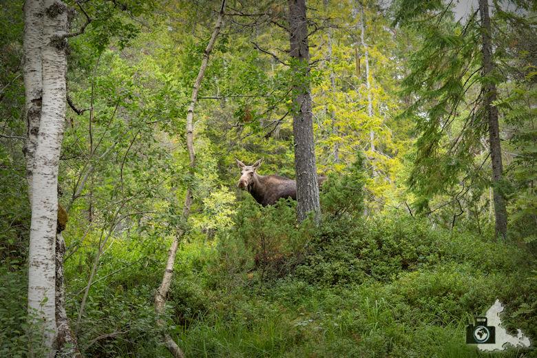 Norwegischer Elch