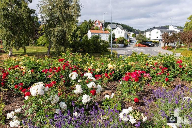 Rosen in Molde