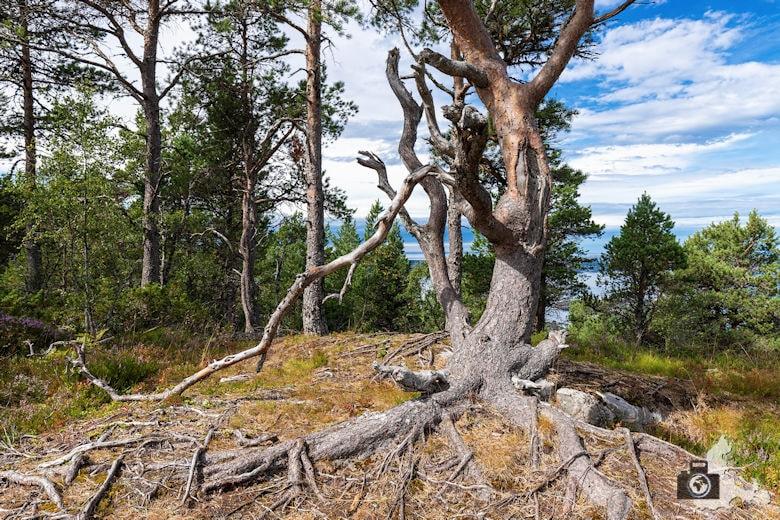 Jendemsfjellet Wanderung - Baum