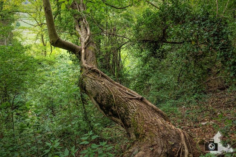 Wanderung Steinzeitpfad Ehrenkirchen - Baum