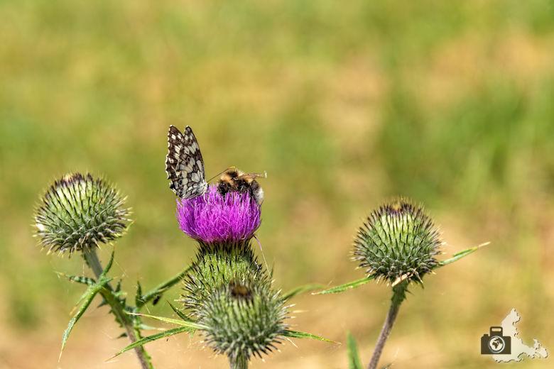 Wanderung Genießerpfad Himmelberg Runde - Schmetterling und Hummel