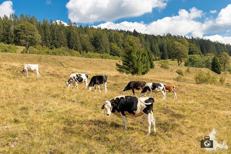 Schwarzwälder Genießerpfad - Lebküchlerweg - Kühe