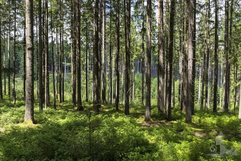 Schwarzwälder Genießerpfad - Waldpfad Groppertal - Wald