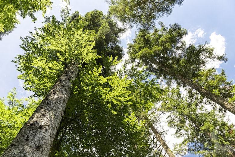 Schwarzwälder Genießerpfad - Waldpfad Groppertal - Bäume